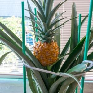 北竜町民宅で実った3代目のパイナップル!