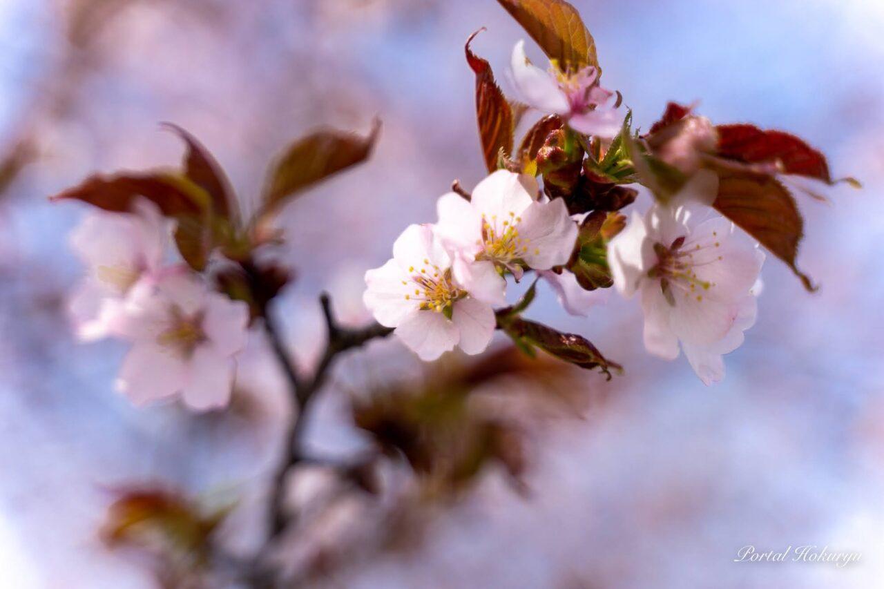 イチイの森の桜