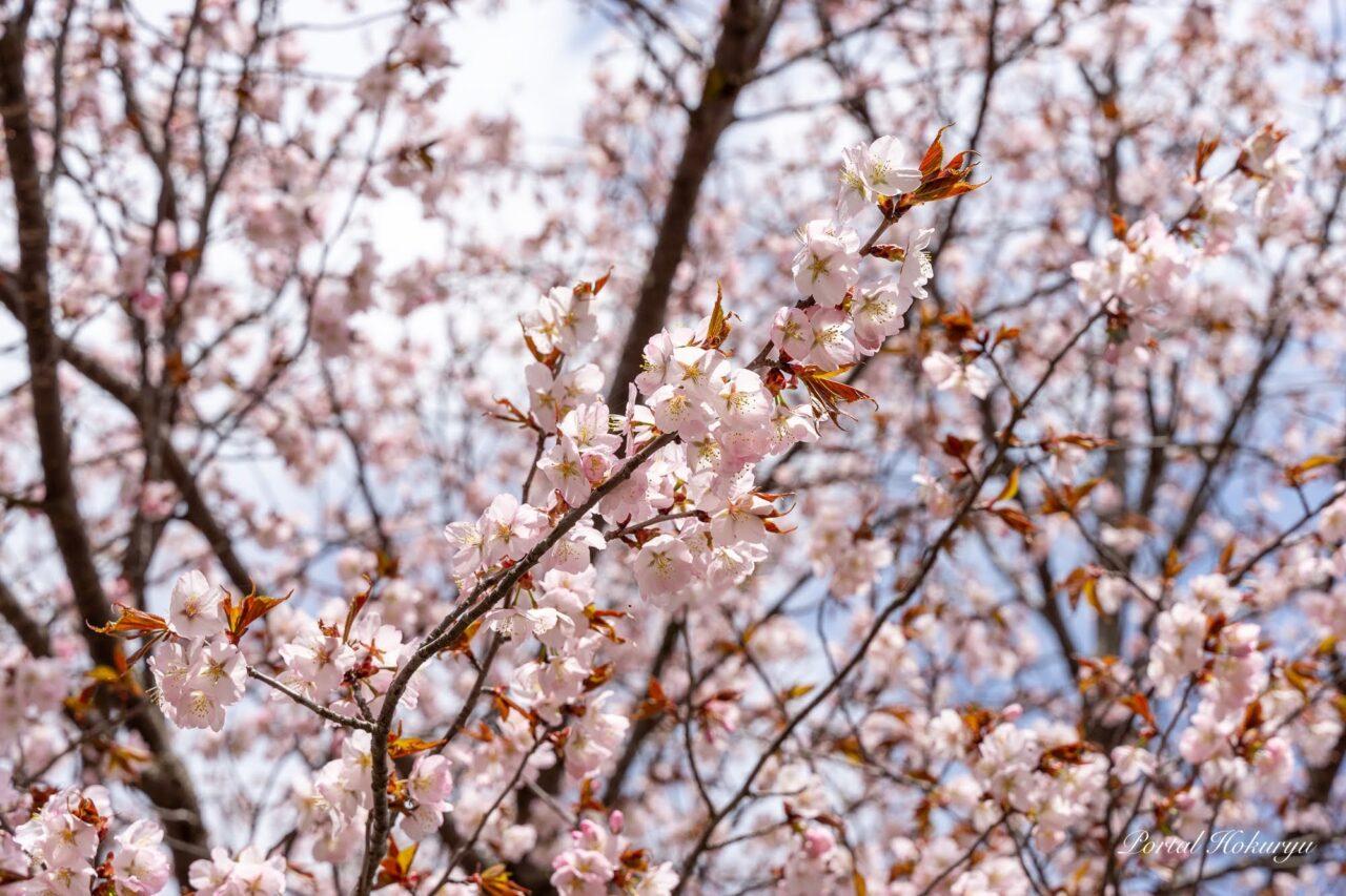 金毘羅公園の桜